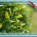 自然栽培の『 茶の木』